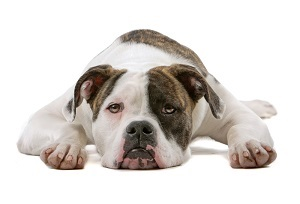 American bulldog puppy (5 months) lying, isolated on white