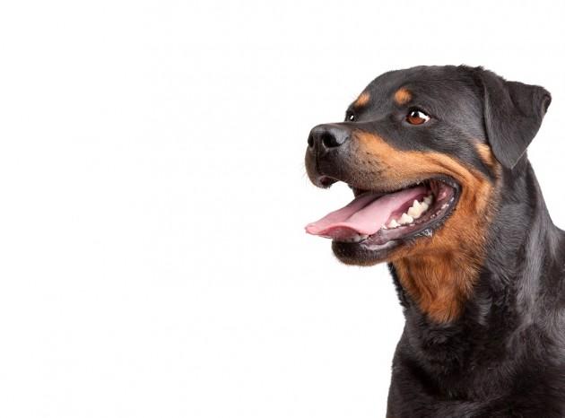 Seguros para Perros de Razas Peligrosas